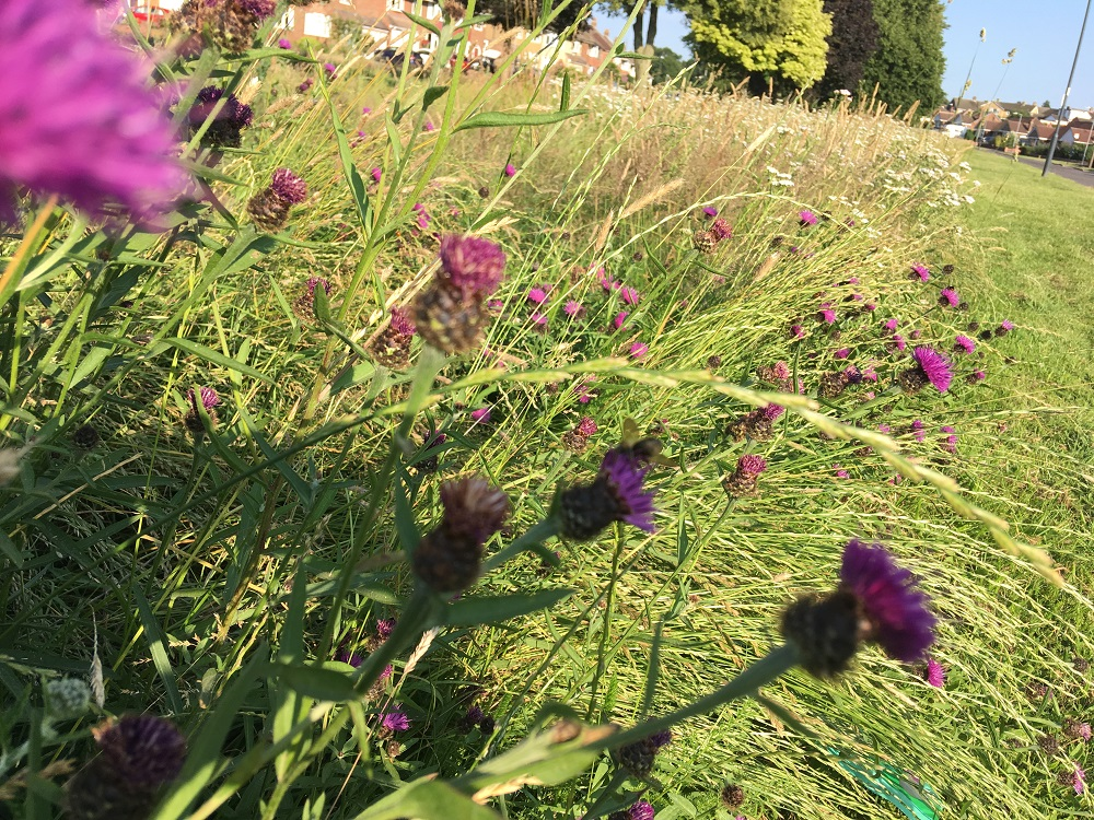 Display of spear thistle on Shakespeare Gardens